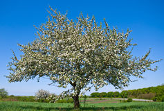 Blossoming apple tree. In spring Royalty Free Stock Image