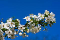 Blossoming apple tree against the blue sky Royalty Free Stock Images