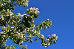 Blossoming apple tree against blue sky Stock Photos