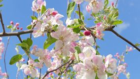 Blossoming apple tree against the blue sky stock video