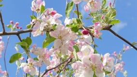 Blossoming apple tree against the blue sky. Tilt stock video
