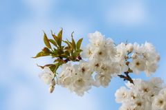 Blossoming apple tree against a blue sunny sky Stock Photos