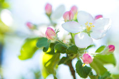Blossoming apple tree against the sky. Stock Photo