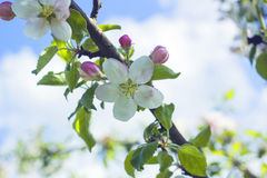 Blossoming apple tree. Apple flowers Stock Photography