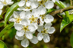 Blossoming apple tree and bee sitting on flower. Stock Photos