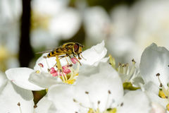 Blossoming apple tree and bee sitting on flower. Royalty Free Stock Images