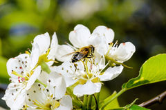 Blossoming apple tree and bee sitting on flower. Royalty Free Stock Image