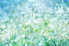 Blossoming  apple  tree. Royalty Free Stock Image