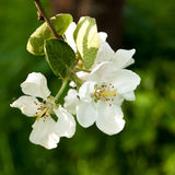Blossoming apple-tree Stock Photos