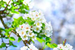 Blossoming apple tree branch Royalty Free Stock Photo