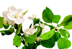 Blossoming apple tree branch. Affection blossom white closeup gardening Stock Image