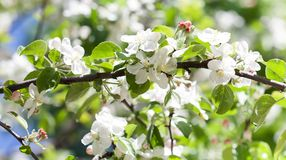 Blossoming apple tree branch. Beautiful springtime garden landscape with white petals flowers, fruit tree Stock Photo