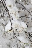 Blossoming apple tree branch  covered with snow Royalty Free Stock Photos