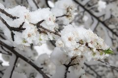 Blossoming apple tree branch  covered with snow Stock Images