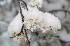 Blossoming apple tree branch  covered with snow Royalty Free Stock Photography