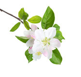 Blossoming apple tree branch. Stock Photo