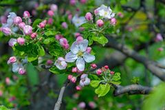 Blossoming apple tree branch Stock Images