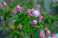 Blossoming apple tree branch Stock Photos