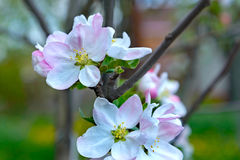 Blossoming apple tree branch Stock Photo