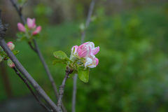 Blossoming apple tree branch Royalty Free Stock Photos
