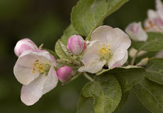 The blossoming apple-tree. Branch of the blossoming apple-tree in the spring Stock Photos