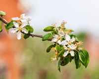 Blossoming apple tree branch in spring. On green background royalty free stock image
