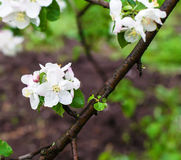 Blossoming apple tree branch in spring. On green background royalty free stock photos