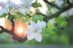 Blossoming apple tree branch and sunrise. Lense flare effect Royalty Free Stock Photo