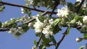 Blossoming of an Apple-Tree stock video footage