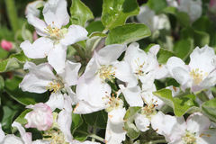 The blossoming apple-tree branches Stock Photo