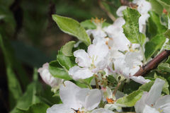The blossoming apple-tree branches Stock Image