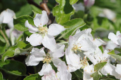 The blossoming apple-tree branches Royalty Free Stock Photo