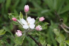 The blossoming apple-tree branches Royalty Free Stock Image