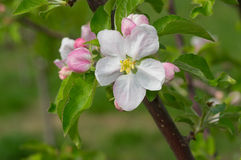 Blossoming apple tree brunch with flowers Stock Image