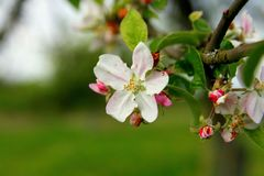 Blossoming apple tree, buds and flowers royalty free stock photos