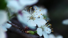 Blossoming apple tree close up stock video