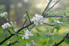 Blossoming apple tree Royalty Free Stock Photography