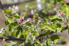 Blossoming apple-tree, the color of the apple tree in the early Stock Photography