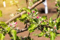 Blossoming apple-tree, the color of the apple tree in the early Royalty Free Stock Images