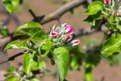 Blossoming apple-tree, the color of the apple tree in the early Stock Images