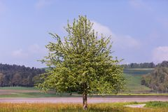 Blossoming Apple Tree with Countryside Fields in the Misty Backg royalty free stock photo