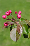 Blossoming apple tree with decorative bright pink buds on a back Royalty Free Stock Photos