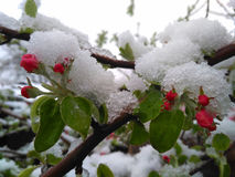 Blossoming apple tree after a dusting of snow. Royalty Free Stock Photography