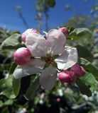 Blossoming apple tree flower, close up Stock Image