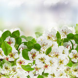 Blossoming Apple tree Flowers Royalty Free Stock Image