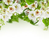Blossoming Apple tree Flowers Royalty Free Stock Photography