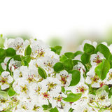 Blossoming Apple tree Flowers Stock Images
