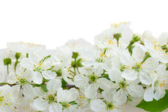 Blossoming Apple tree Flowers Stock Image