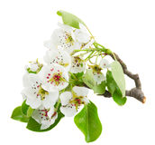 Blossoming Apple tree Flowers Royalty Free Stock Photo