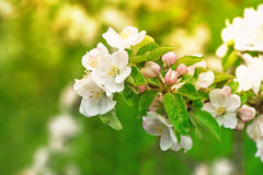 Blossoming of apple tree flowers over green nature background Royalty Free Stock Image